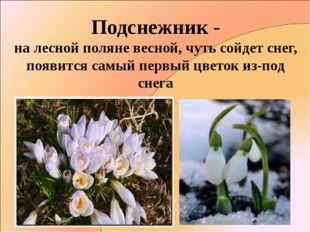 Подснежник - на лесной поляне весной, чуть сойдет снег, появится самый первый