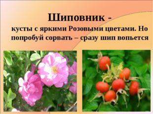 Шиповник - кусты с яркими Розовыми цветами. Но попробуй сорвать – сразу шип в