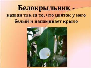 Белокрыльник - назван так за то, что цветок у него белый и напоминает крыло