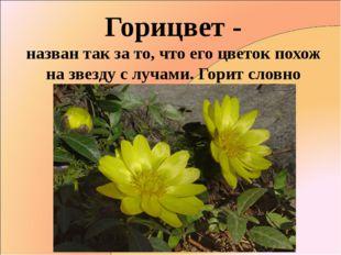Горицвет - назван так за то, что его цветок похож на звезду с лучами. Горит с
