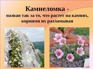 Камнеломка - назван так за то, что растет на камнях, корнями их разламывая