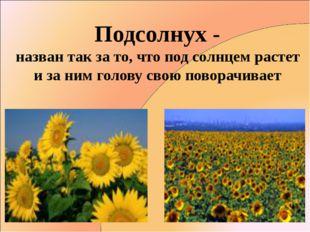 Подсолнух - назван так за то, что под солнцем растет и за ним голову свою пов