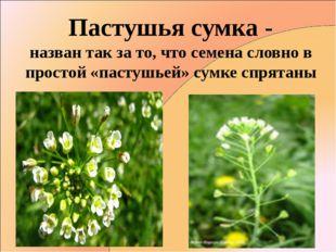 Пастушья сумка - назван так за то, что семена словно в простой «пастушьей» су