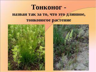 Тонконог - назван так за то, что это длинное, тонконогое растение