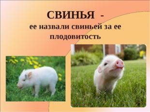 СВИНЬЯ - ее назвали свиньей за ее плодовитость
