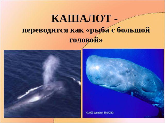КАШАЛОТ - переводится как «рыба с большой головой»