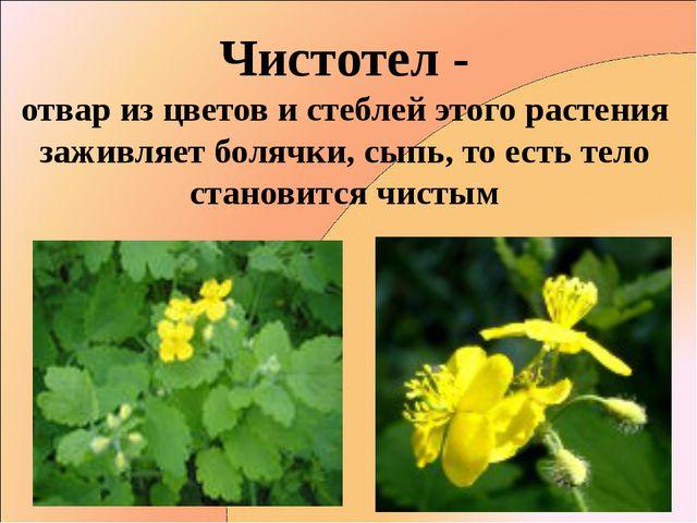 Чистотел - отвар из цветов и стеблей этого растения заживляет болячки, сыпь,...