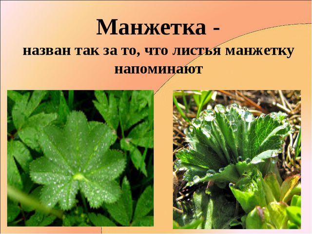 Манжетка - назван так за то, что листья манжетку напоминают
