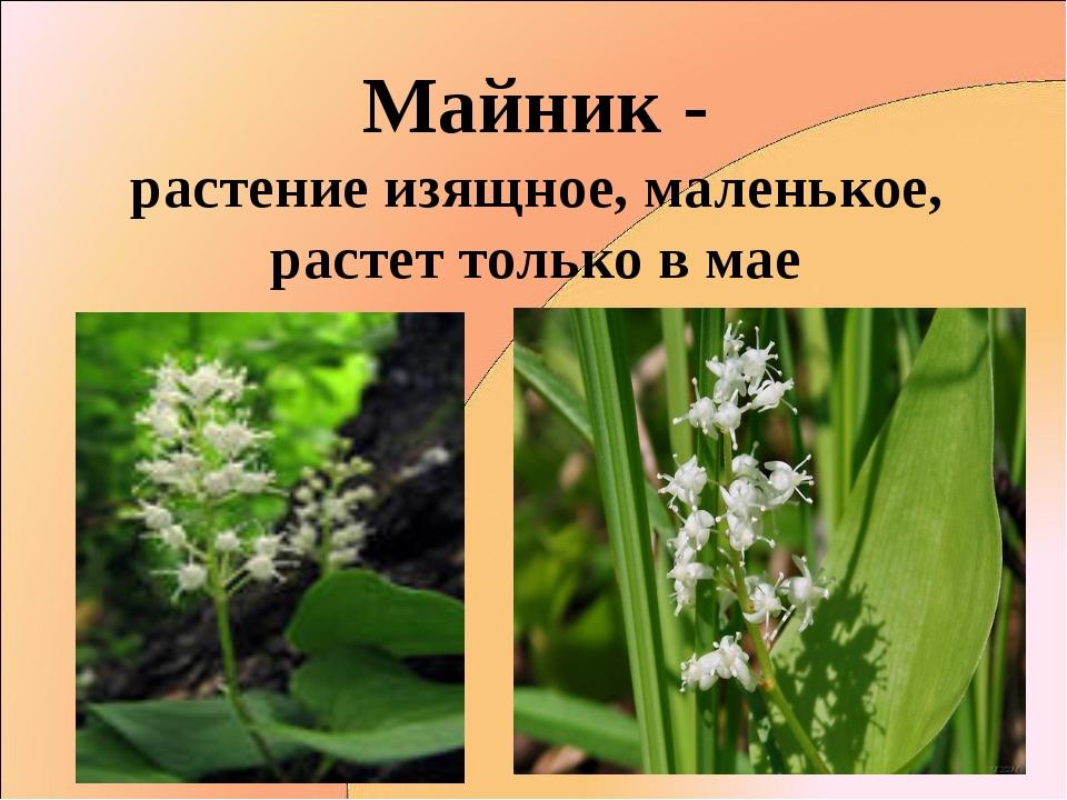 Майник - растение изящное, маленькое, растет только в мае
