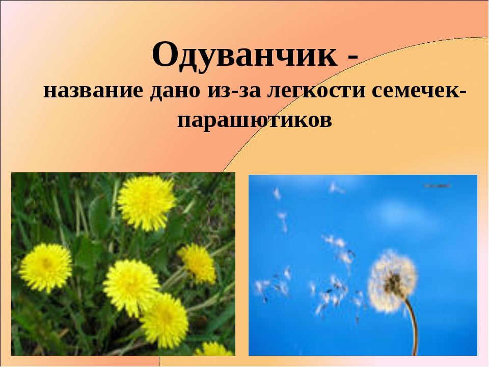 Одуванчик - название дано из-за легкости семечек- парашютиков