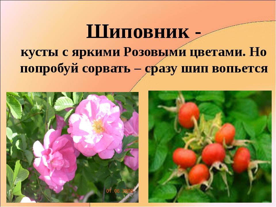 Шиповник - кусты с яркими Розовыми цветами. Но попробуй сорвать – сразу шип в...
