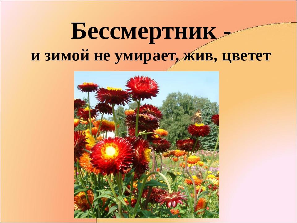 Бессмертник - и зимой не умирает, жив, цветет