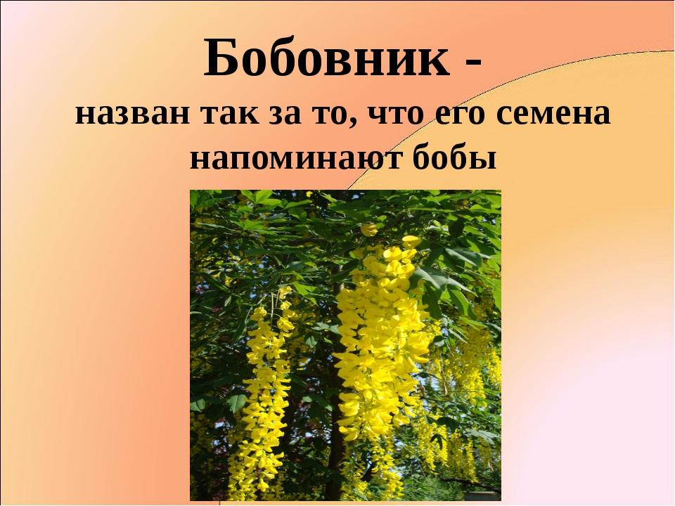 Бобовник - назван так за то, что его семена напоминают бобы