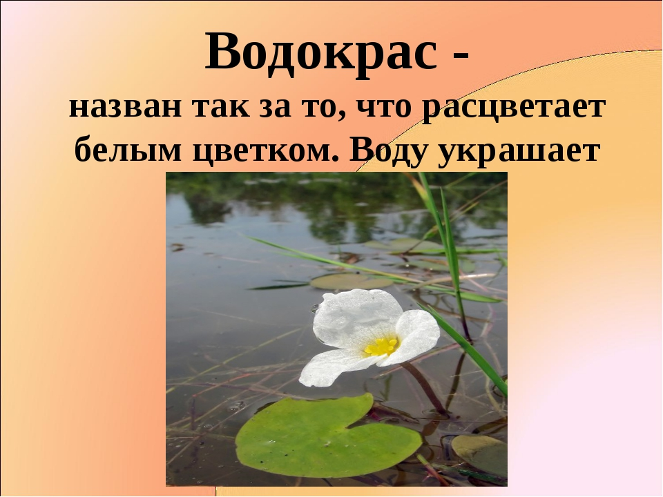 Водокрас - назван так за то, что расцветает белым цветком. Воду украшает