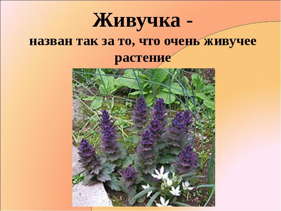 Живучка - назван так за то, что очень живучее растение