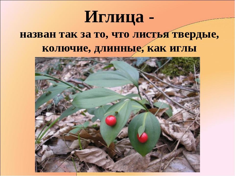 Иглица - назван так за то, что листья твердые, колючие, длинные, как иглы