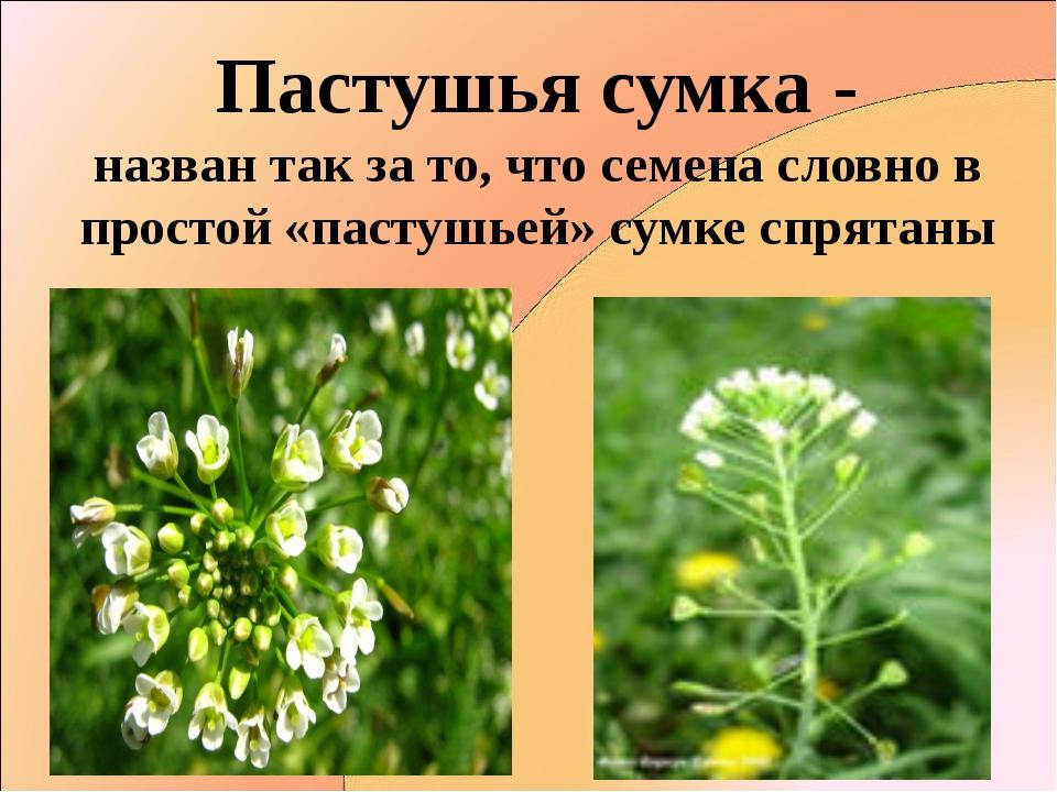 Пастушья сумка - назван так за то, что семена словно в простой «пастушьей» су...