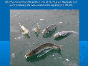 Востсибрыбцентр утверждает, что за последние двадцать лет число осетра и хари