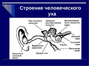 Строение человеческого уха