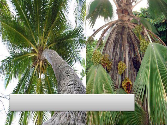 Ротанг пальмасы