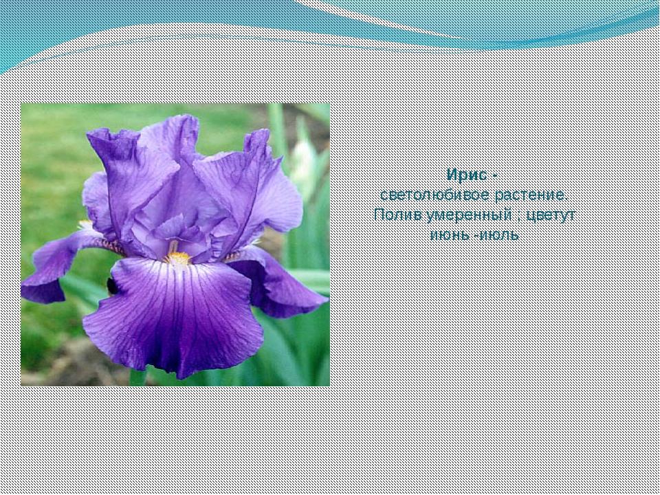 Ирис - светолюбивое растение. Полив умеренный ; цветут июнь -июль