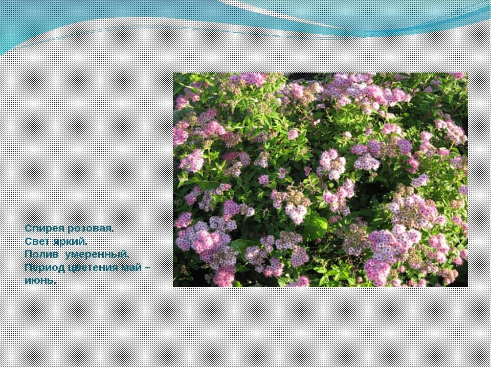 Спирея розовая. Свет яркий. Полив умеренный. Период цветения май –июнь.