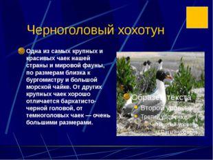 Черноголовый хохотун Одна из самых крупных и красивых чаек нашей страны и мир