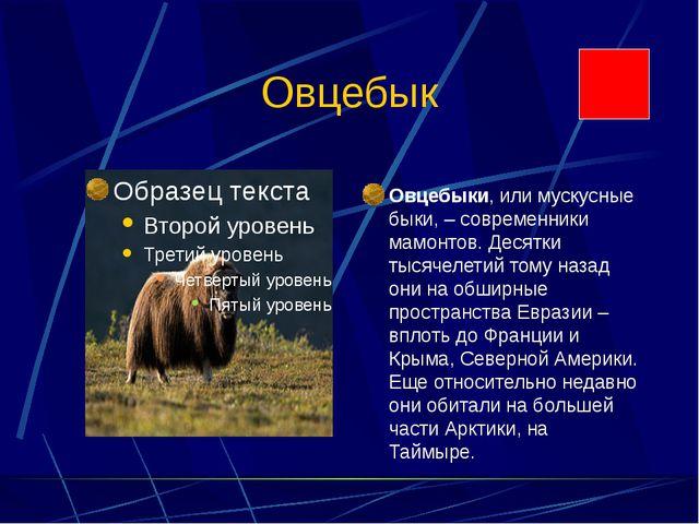 Овцебык Овцебыки, или мускусные быки, – современники мамонтов. Десятки тысяче...
