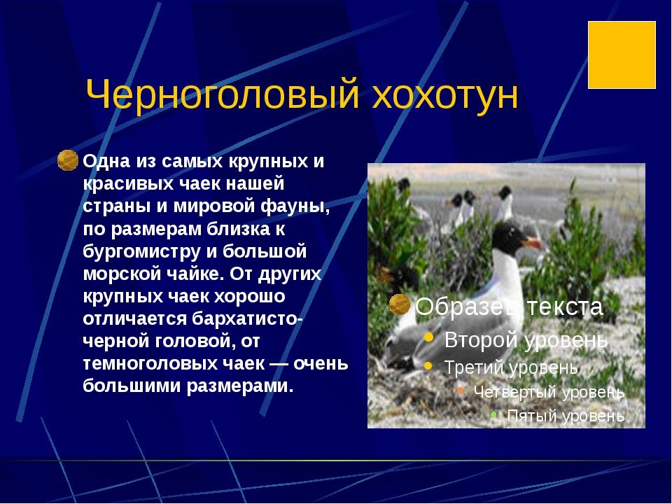 Черноголовый хохотун Одна из самых крупных и красивых чаек нашей страны и мир...