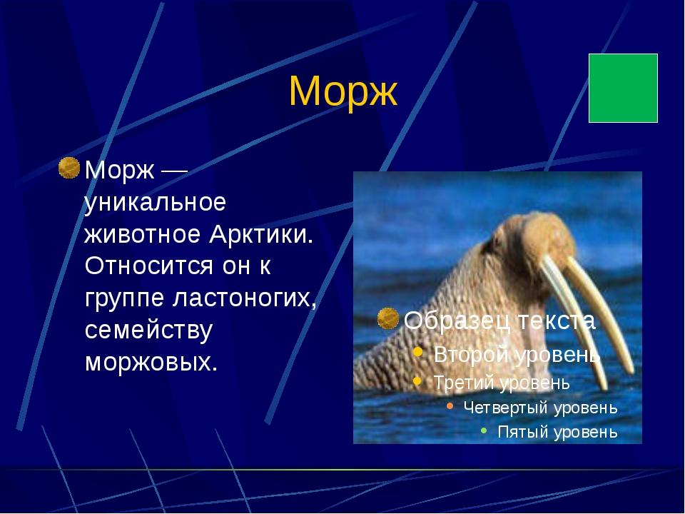 Морж Морж — уникальное животное Арктики. Относится он к группе ластоногих, се...