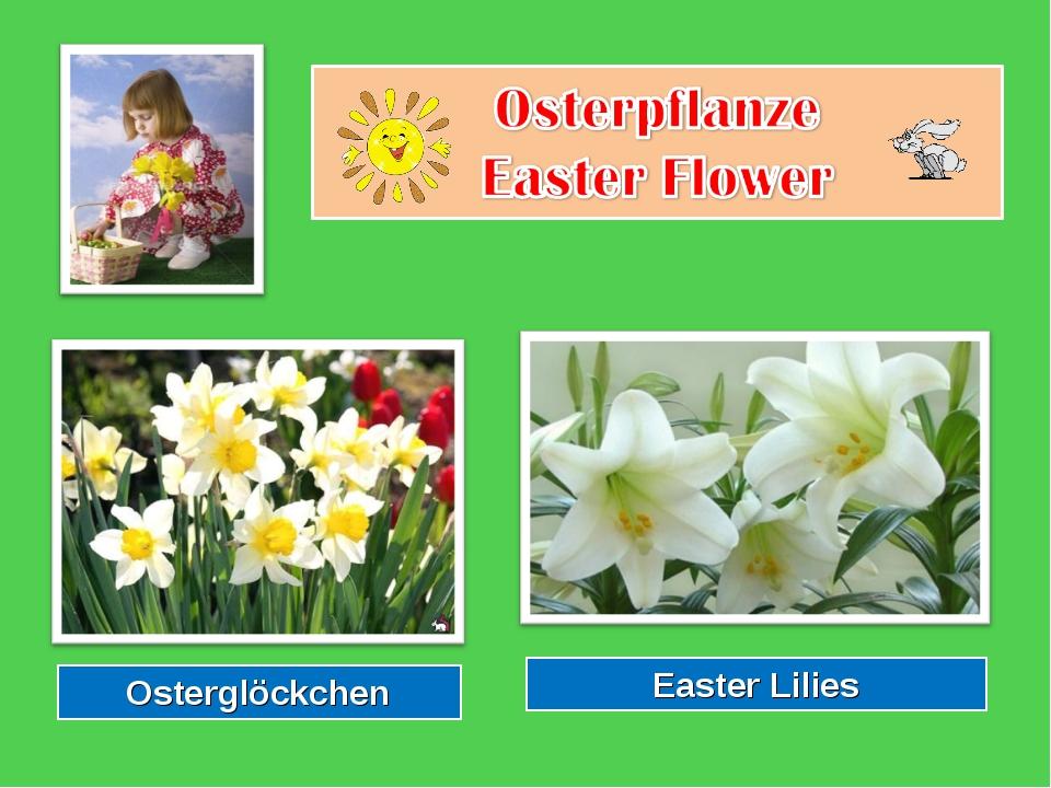 Osterglöckchen Easter Lilies