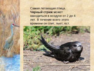 Самая летающая птица. Черный стрижможет находиться в воздухе от 2 до 4 лет.