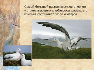 Самый большой размах крыльев отмечен у странствующегоальбатроса, размах его
