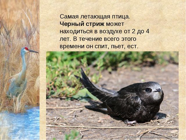 Самая летающая птица. Черный стрижможет находиться в воздухе от 2 до 4 лет....