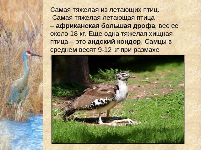 Самая тяжелая из летающих птиц. Самая тяжелая летающая птица –африканская б...