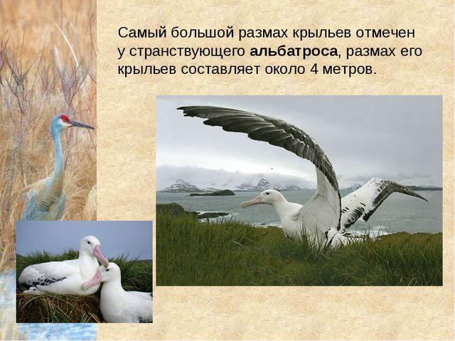 Самый большой размах крыльев отмечен у странствующегоальбатроса, размах его...