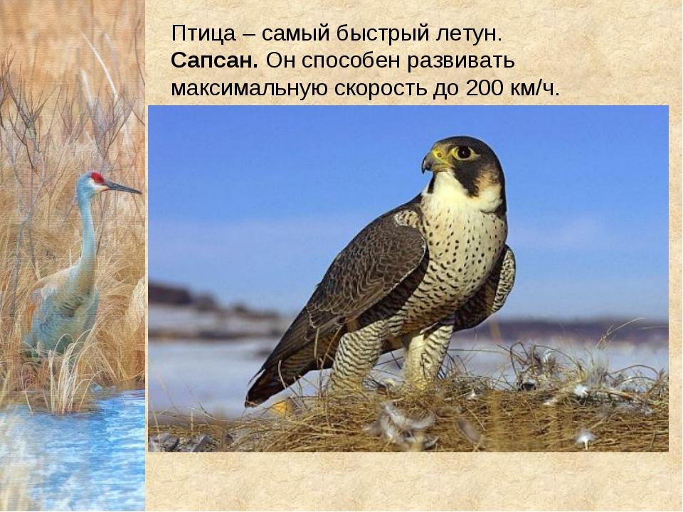 Птица – самый быстрый летун. Сапсан.Он способен развивать максимальную скор...