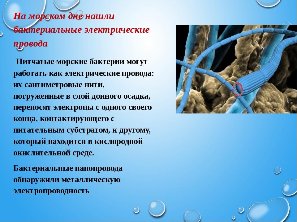 На морском дне нашли бактериальные электрические провода Нитчатые морские ба...