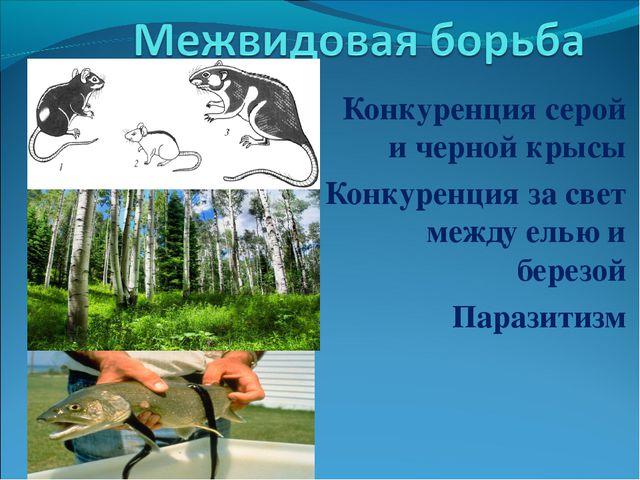 Конкуренция серой и черной крысы Конкуренция за свет между елью и березой Пар...