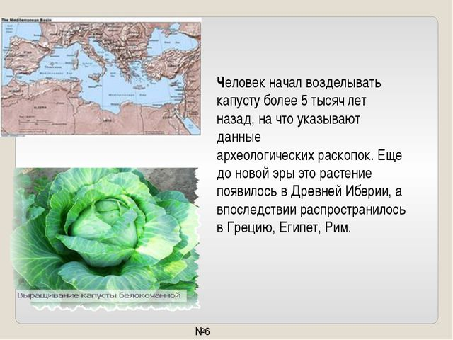 Человек начал возделывать капусту более 5 тысяч лет назад, на что указывают...