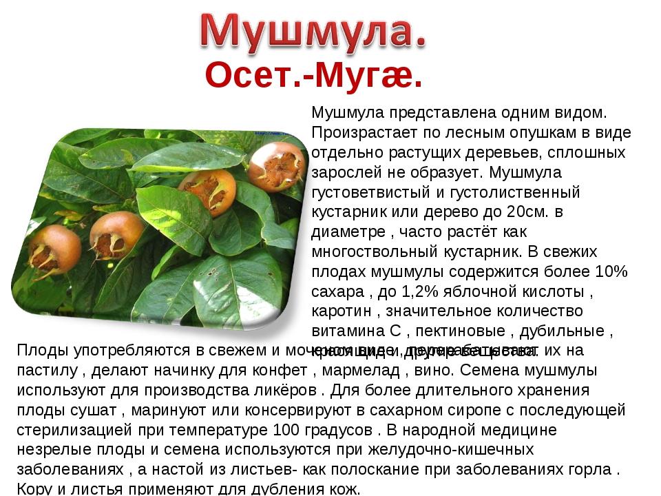 Осет.-Мугæ. Мушмула представлена одним видом. Произрастает по лесным опушкам...