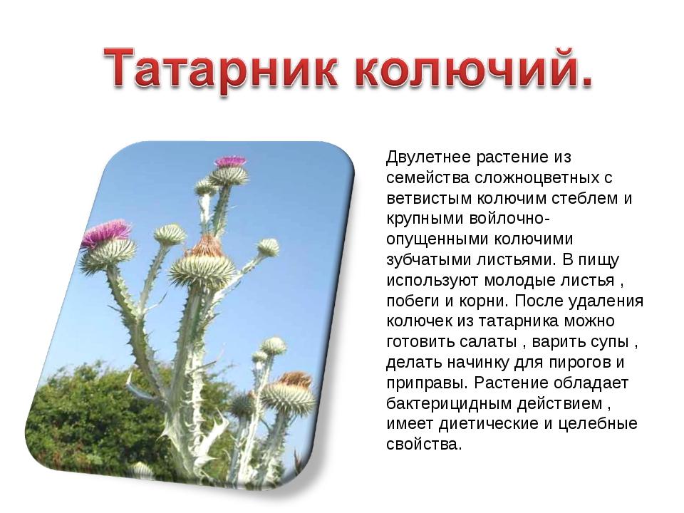 Двулетнее растение из семейства сложноцветных с ветвистым колючим стеблем и к...