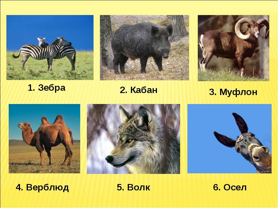 1. Зебра 2. Кабан 3. Муфлон 4. Верблюд 5. Волк 6. Осел