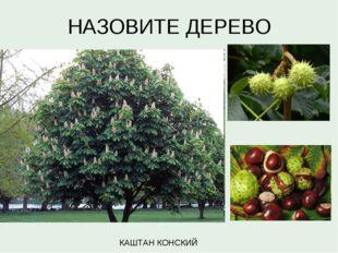 НАЗОВИТЕ ДЕРЕВО КАШТАН КОНСКИЙ