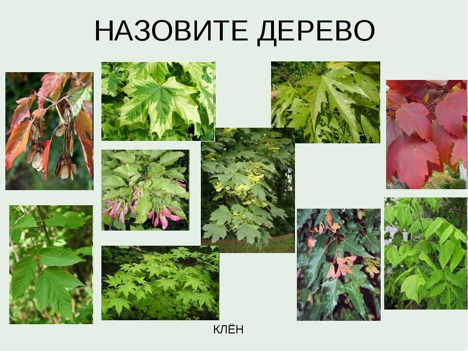 НАЗОВИТЕ ДЕРЕВО КЛЁН