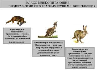 КЛАСС МЛЕКОПИТАЮЩИЕ ПРЕДСТАВИТЕЛИ ТРЕХ ГЛАВНЫХ ГРУПП МЛЕКОПИТАЮЩИХ Млекопитаю