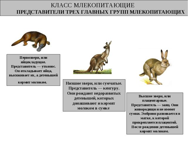 КЛАСС МЛЕКОПИТАЮЩИЕ ПРЕДСТАВИТЕЛИ ТРЕХ ГЛАВНЫХ ГРУПП МЛЕКОПИТАЮЩИХ Млекопитаю...
