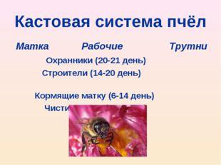 Кастовая система пчёл Матка Рабочие Трутни Охранники (20-21 день) Строители (