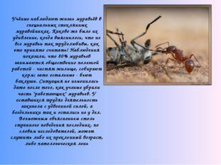 Учёные наблюдают жизнь муравьёв в специальных стеклянных муравейниках. Како