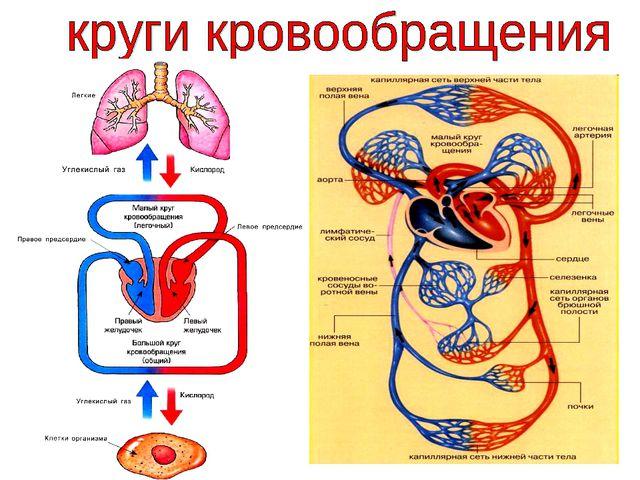 В малом круге кровообращения кровь (бедная кислородом) из правого желудочка в...
